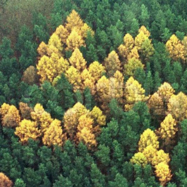 Gigantesca esvástica de 60 x 60 m cerca de Zernikow, al Noreste de Berlín, plantada a finales de los años treinta en un bosque por un nazófilo comerciante local.