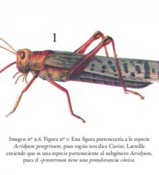 Dibujo de la especie de langosta Acridyum peregrinum